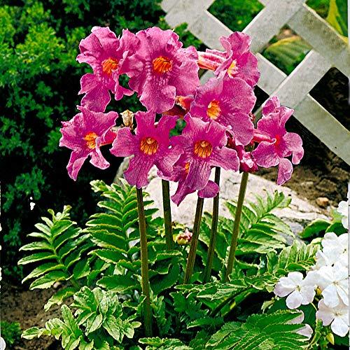 6x Incarvillea delavayi | Gartengloxinie Rosa Blüten | Sommerblüher Blumenzwiebeln | 14 cm