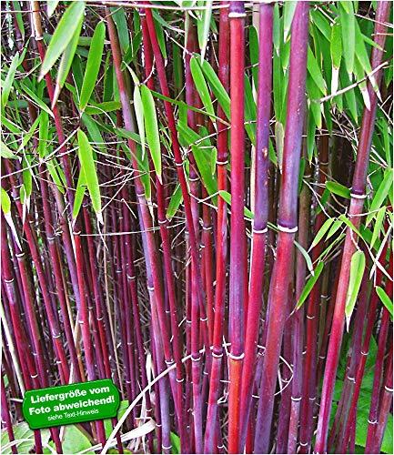 BALDUR-Garten Roter Bambus 'Chinese Wonder' winterhart, 1 Pflanze Fargesia jiuzhaigou No.1 bildet...