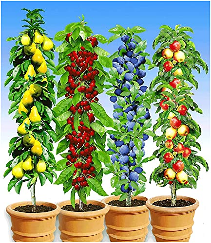 BALDUR Garten Säulen-Obst-Kollektion Birne, Kirsche, Pflaume & Apfel, 4 Pflanzen als Säule...