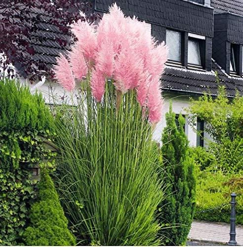 Beautytalk-Garten 100 Stück Bunte Pampasgras Samen Amerikanisches Pampasgras winterhart mehrjährig...