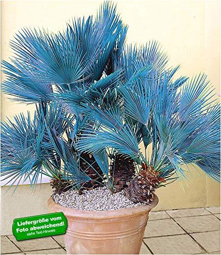 BALDUR Garten Winterharte Blaue Zwerg-Palmen, 1 Pflanze, Chamaerops humilis Cerifera Fächerpalme
