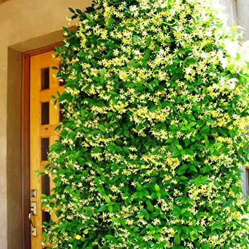 Future Exotics Trachelospermum jasminoides GELBER Blütenduft winterhart 15-20 cm