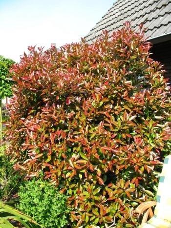 immergrüne Glanzmispel Photinia fraseri Red Robin 60-80 cm hoch im 4 Liter Pflanzcontainer