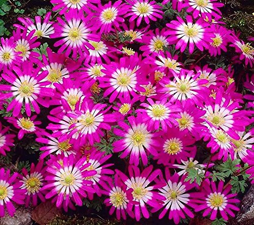 Anemone Pink Star - 8 Blumenzwiebeln