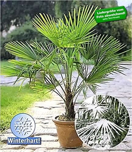 BALDUR-Garten Winterharte Kübel-Palmen Chinesische Hanfpalme Freilandpalme Gartenpalme, 1 Pflanze,...