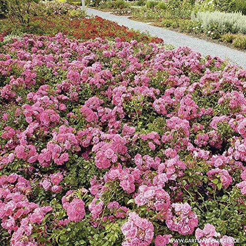 Rose Palmengarten Frankfurt- Bodendeckerrose tiefrosanen Blüten - Kleinstrauchrose Pflanze...