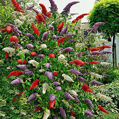 3x Fliederbaum   Buddleja Davidii   Schmetterlingsflieder   Fliederbaum winterhart   Rot - Weiß -...