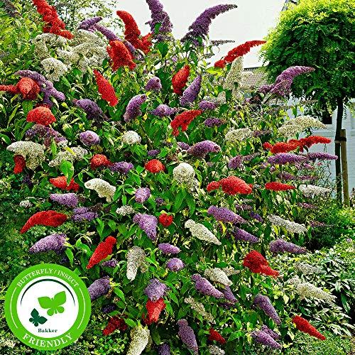 3x Fliederbaum | Buddleja Davidii | Schmetterlingsflieder | Fliederbaum winterhart | Rot - Weiß -...