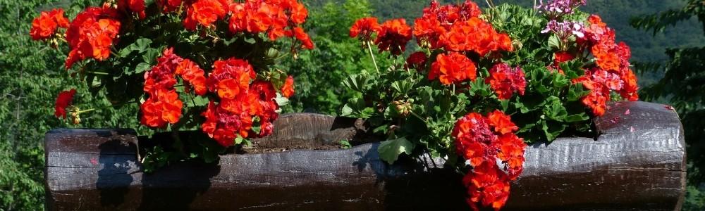 Garten- und Balkonpflanzen von Blumen Eber