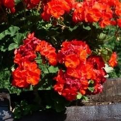 Garten- und Balkonpflanzen von Baldur-Garten